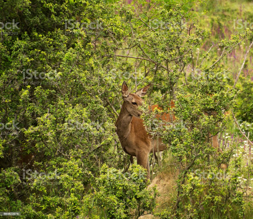 Red Deer in Thicket stock photo