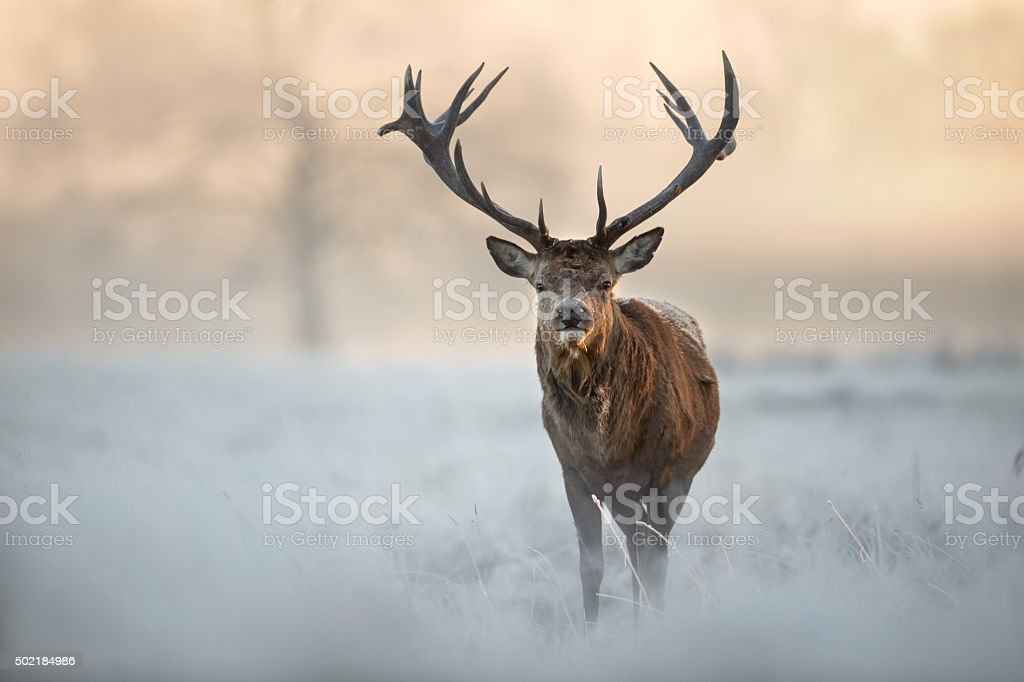 Red deer in winter stock photo