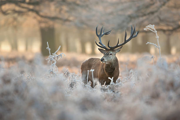 Red deer in winter Red deer in winter. red deer animal stock pictures, royalty-free photos & images