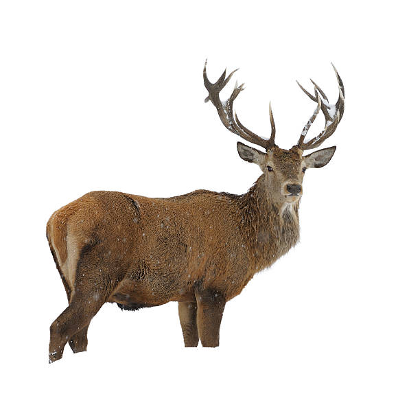 Red deer in winter snow stock photo