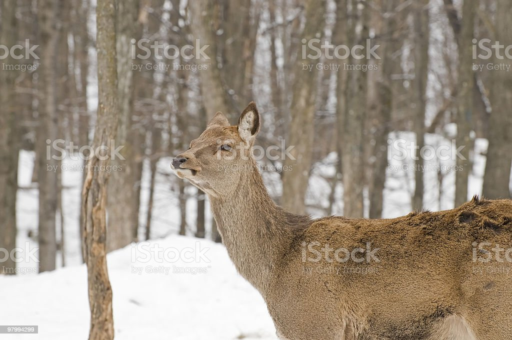 Red Deer in Woods royalty-free stock photo