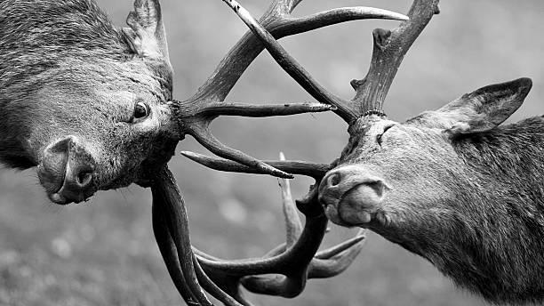 Red Deer (Cervus elaphus) jousting Red Deer (Cervus elaphus) going head to head during the rut.  rutting stock pictures, royalty-free photos & images