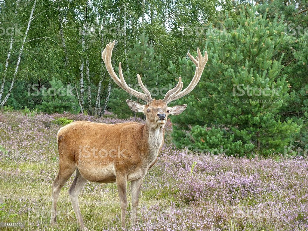 Red deer looking out for predators stock photo