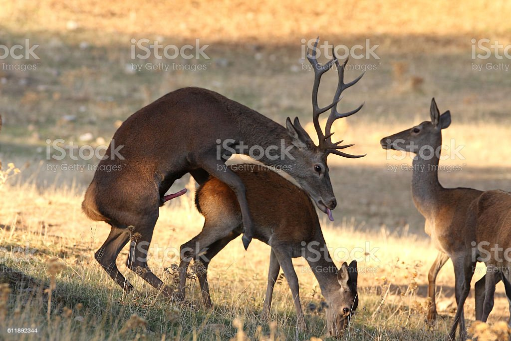 Red Deer mating in the Iberian peninsula. stock photo
