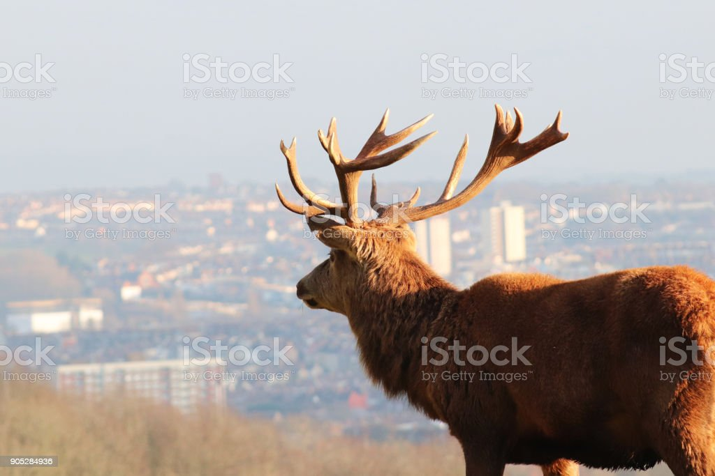 Red Deer Overlooking City Skyline, Ashton Court Estate, Bristol, UK stock photo
