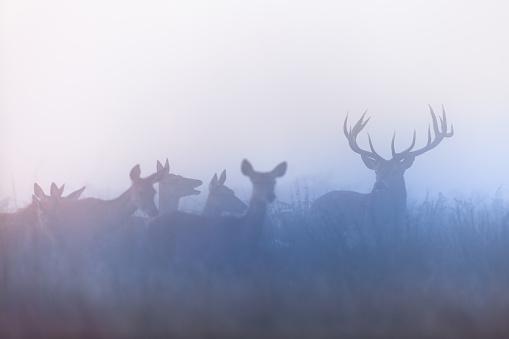a herd of deer on a rut season
