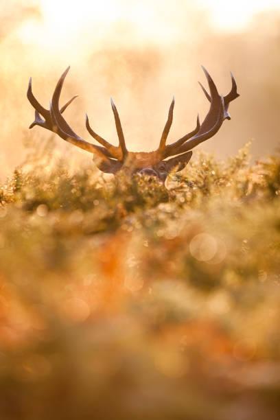 Red deer (Cervus elaphus) Red deer rutting stock pictures, royalty-free photos & images
