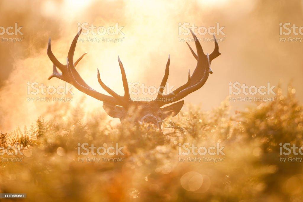Red deer (Cervus elaphus) - Royalty-free Animais caçando Foto de stock