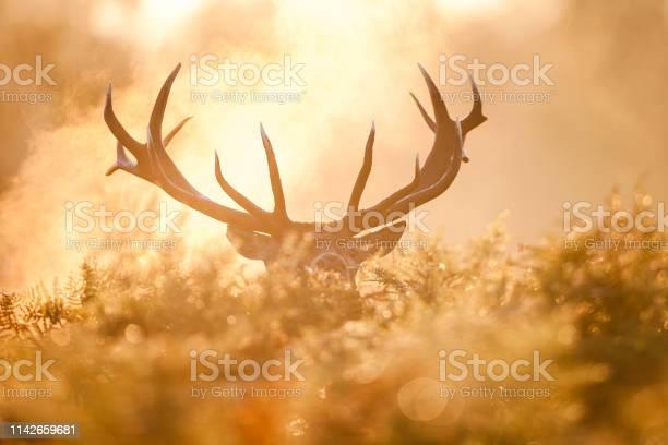 Red Deer - Fotografias de stock e mais imagens de Animais caçando