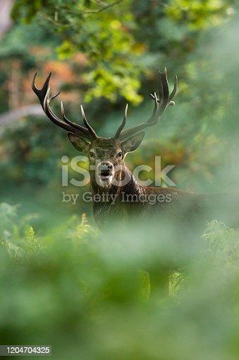 istock Red deer 1204704325