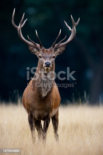 Red Deer(Cervus elaphus)