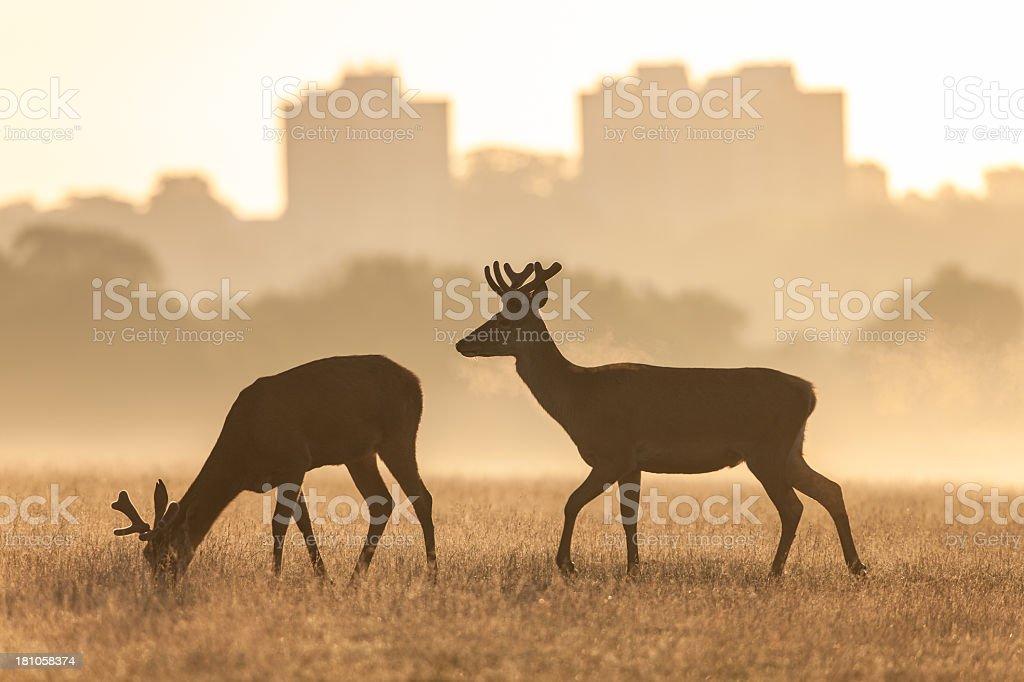 Red Deer(Cervus elaphus) royalty-free stock photo