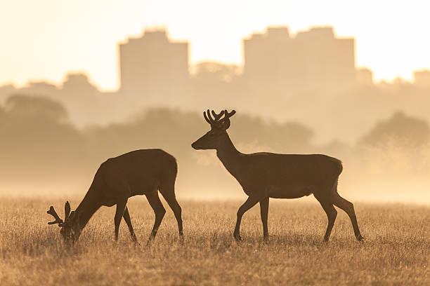 red deer(cervus elaphus) - richmond park stock photos and pictures