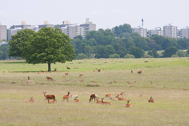 red deer - richmond park stock photos and pictures