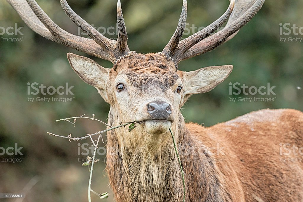 Red Deer foto de stock libre de derechos