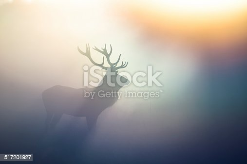 Red Deer in the morning mist