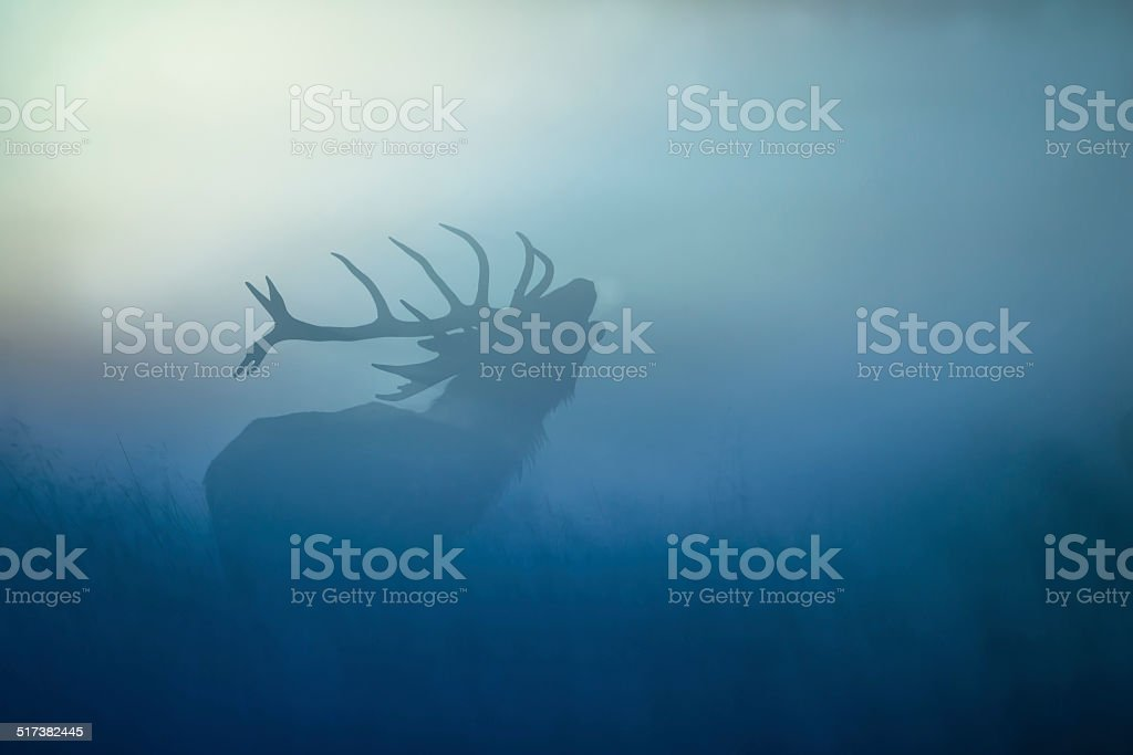 Red Deer(Cervus elaphus) stock photo
