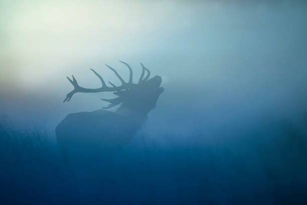 Red Deer(Cervus elaphus) Red Deer in the morning mist rutting stock pictures, royalty-free photos & images
