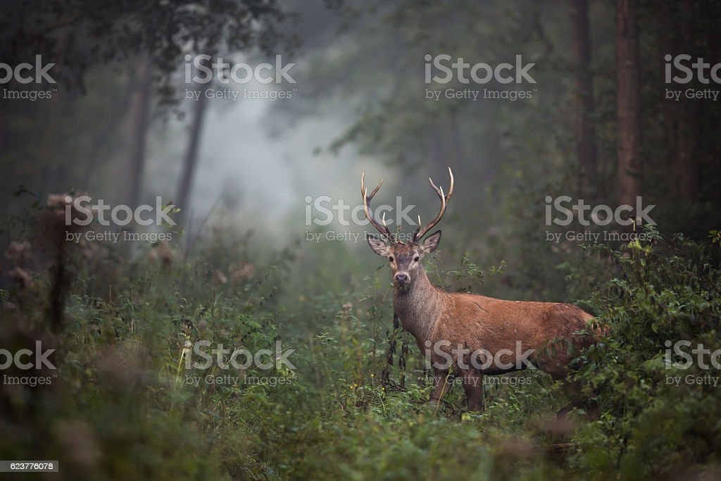 Red Deer (Cervus elaphus) - foto de stock