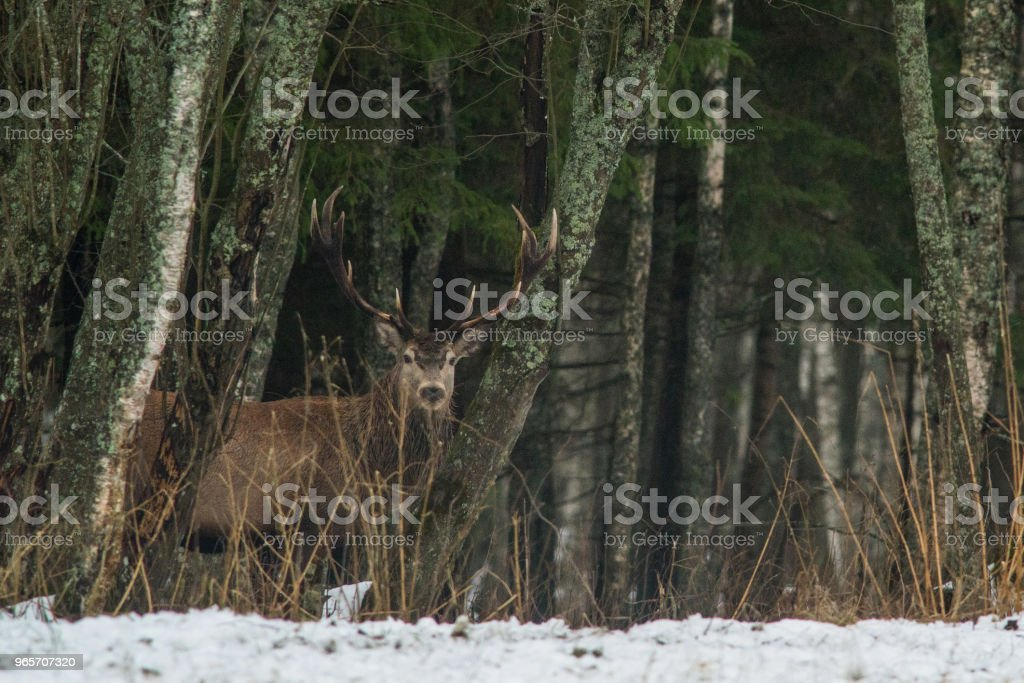 Red deer - Royalty-free Agricultural Field Stock Photo