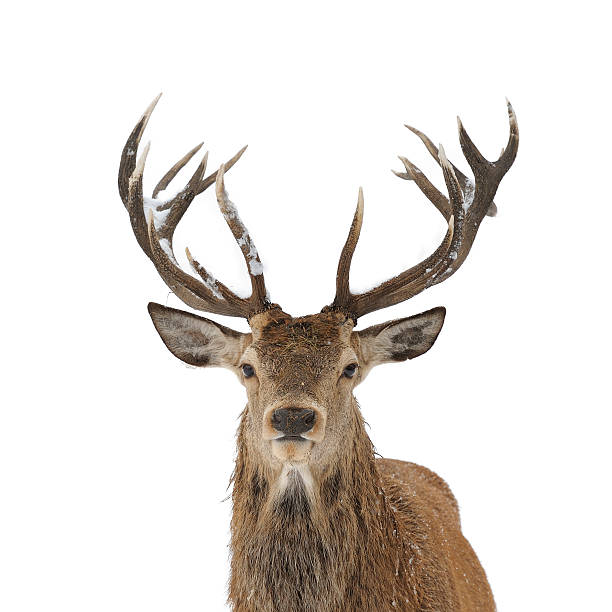 Red deer portrait isolated Red deer head and antler portrait isolated on white. stag stock pictures, royalty-free photos & images