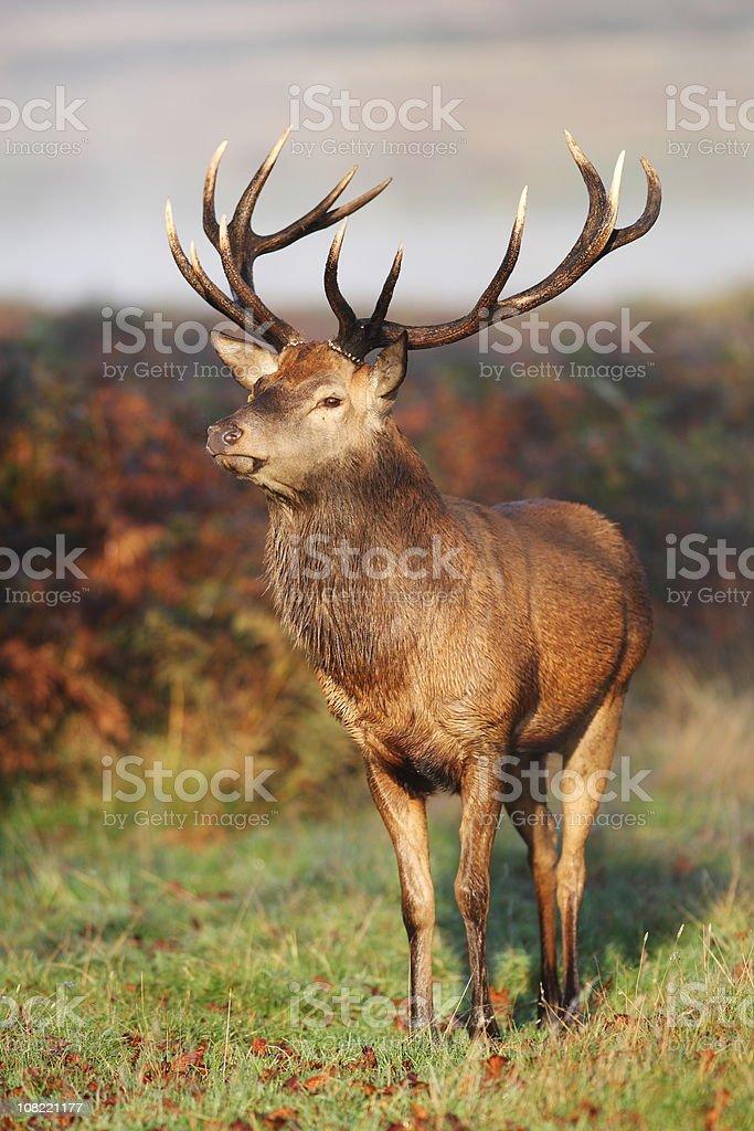 Red Deer Portrait stock photo