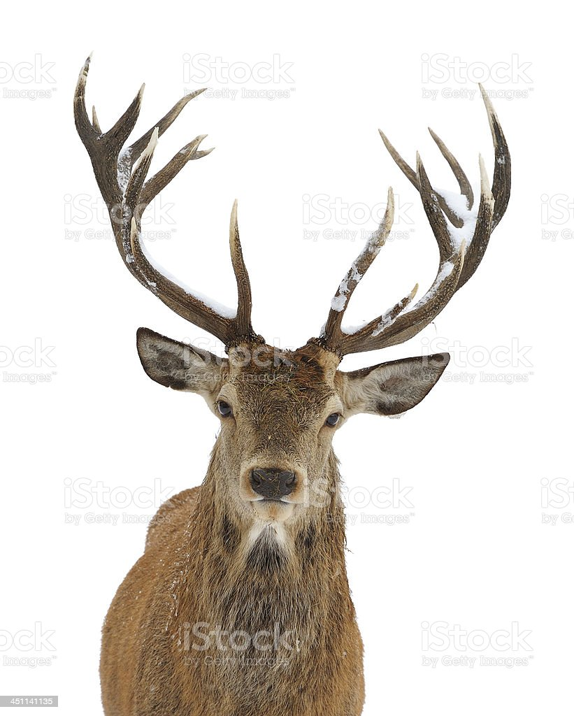 Red deer portrait stock photo