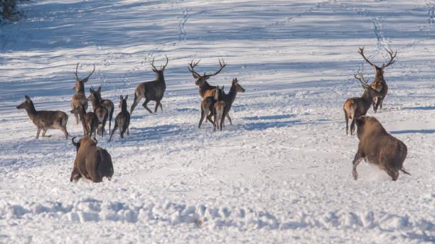 Rothirsch (Cervus Elaphus). Rote Hirsche, Wisente angegriffen. Bieszczady-Gebirge. – Foto