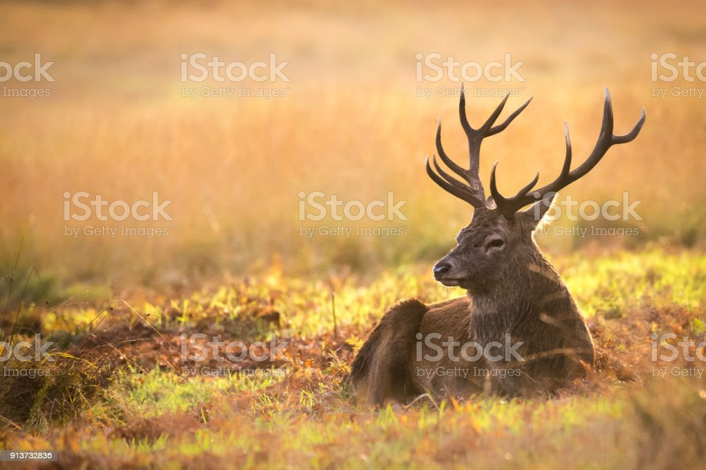 Red Deer resting in the sun stock photo