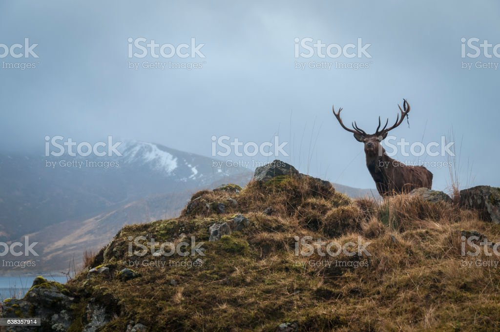 Red Deer Stag and antler dressing, Lochaber, Scotland stock photo