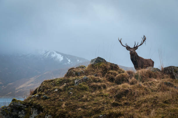 Red Deer Stag and antler dressing, Lochaber, Scotland A Red Deer Stag, Cervus elaphus scoticus, with the remains of antler dressing his left antler in the mountains near Loch Quoich in Lochaber, Scotland. scottish highlands stock pictures, royalty-free photos & images