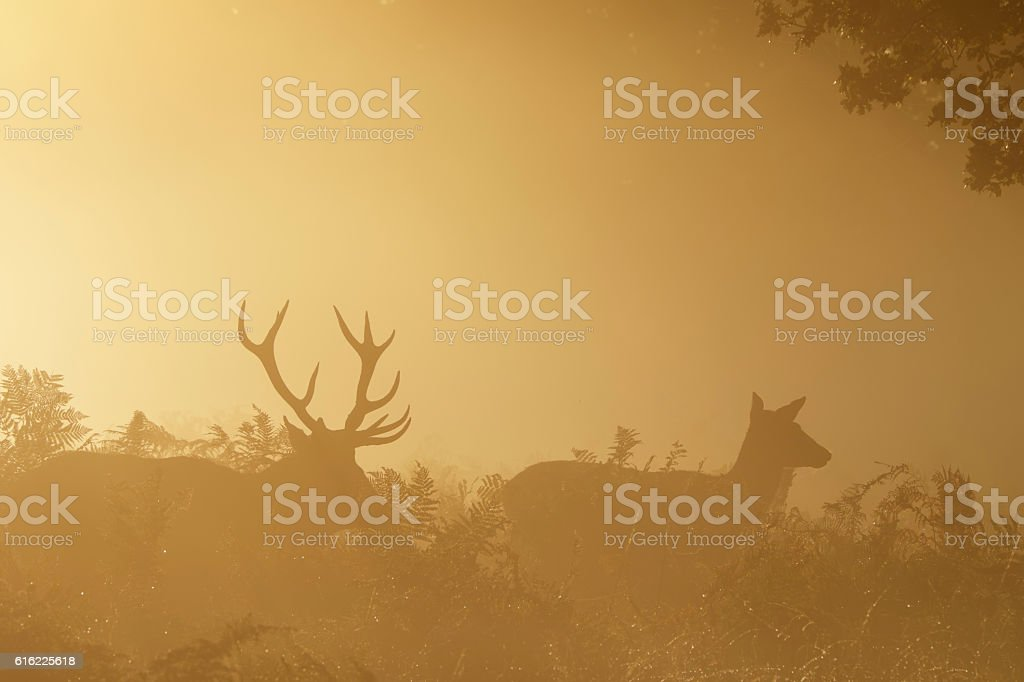 Stag and red deer hind in misty orange autumn landscape stock photo