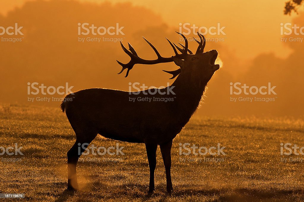 Rutting red deer stag bellowing at dawn stock photo