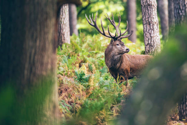 Red deer stag between ferns in autumn forest. stock photo