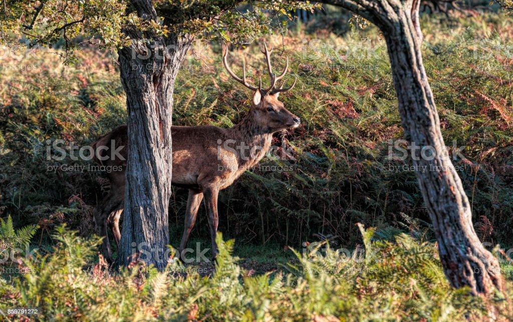 Red deer stag between two trees with bracken stock photo
