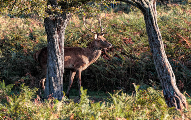 red deer stag between two trees with bracken - whiteway deer stock photos and pictures