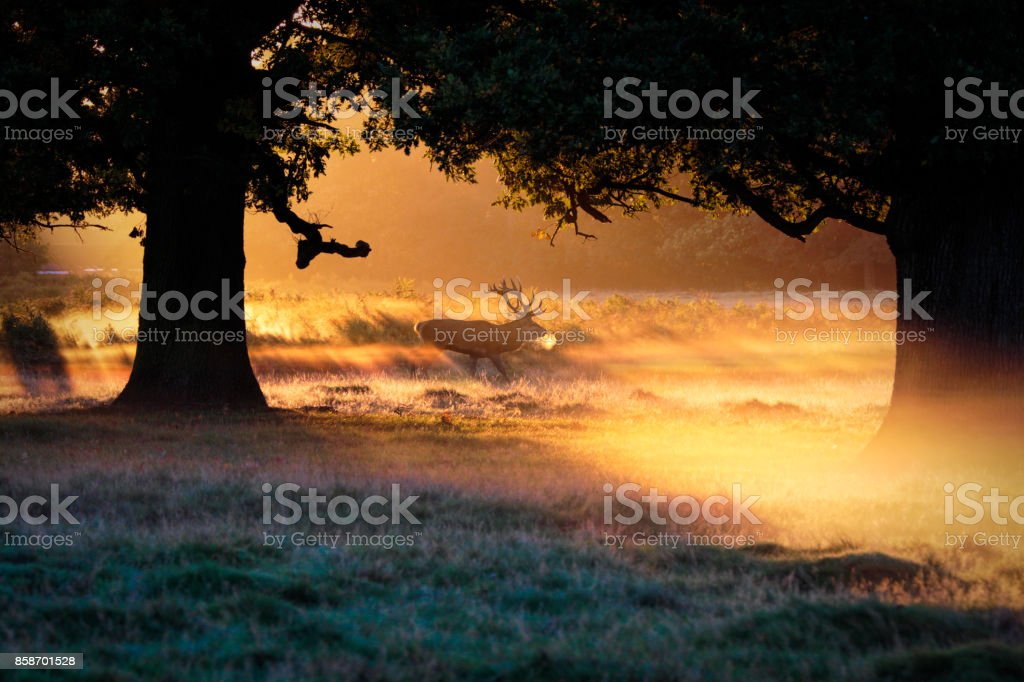 Red deer stag breath hanging cold morning orange sunbeams stock photo