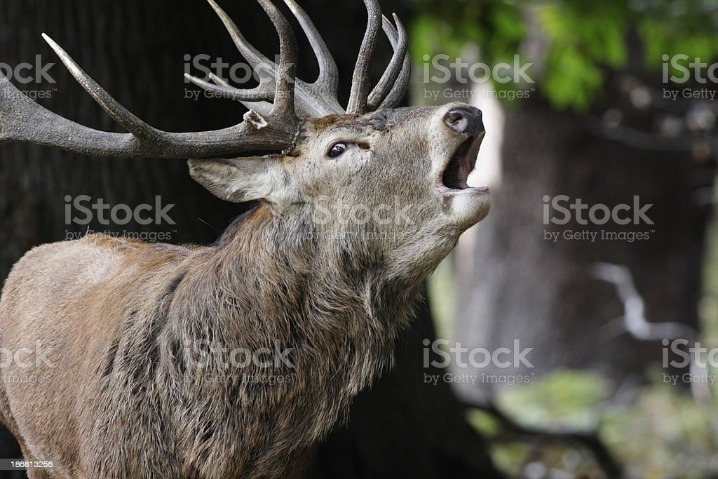 Woodland red deer stag bellowing roaring belling bugling stock photo