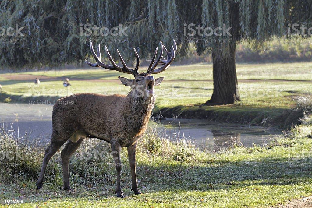 Red deer stag bellowing in the rut stock photo