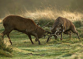 Red deer stag figh during the rut, UK