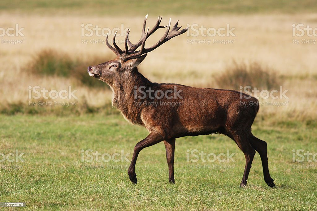 Red deer stag is strutting fine fellow stock photo