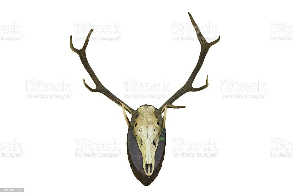 red deer stag hunting trophy for wall mounting stock photo