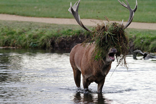 humour rutting roaring stag sports beatles hairstyle - whiteway deer stock photos and pictures