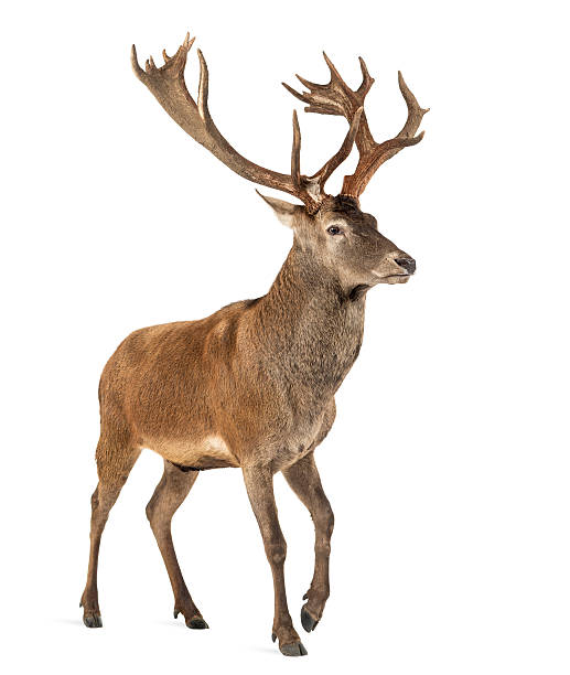 Red deer stag in front of a white background Red deer stag in front of a white background stag stock pictures, royalty-free photos & images