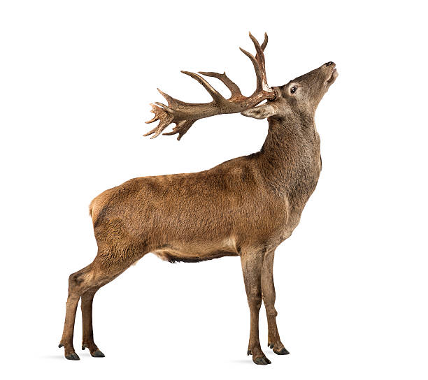 Red deer stag in front of a white background Red deer stag in front of a white background red deer animal stock pictures, royalty-free photos & images