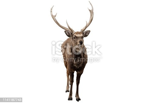 Red deer stag in front of a white background_Clipping Path