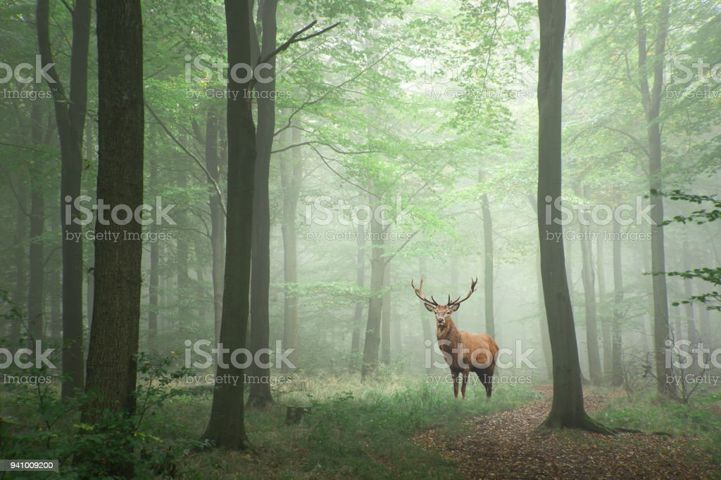 Red deer stag in Lush green fairytale growth concept foggy forest landscape image stock photo