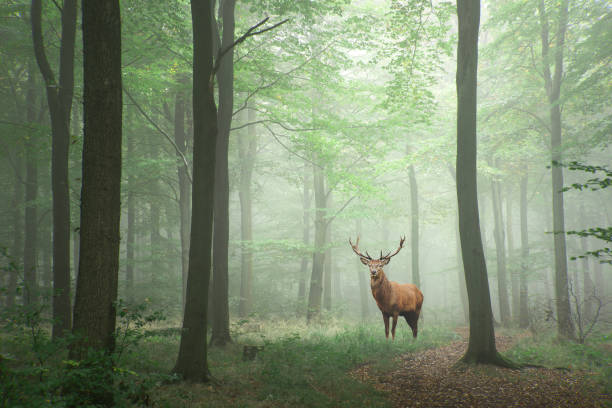 red deer stag in lush green fairytale growth concept foggy forest landscape image - forest animals stock photos and pictures