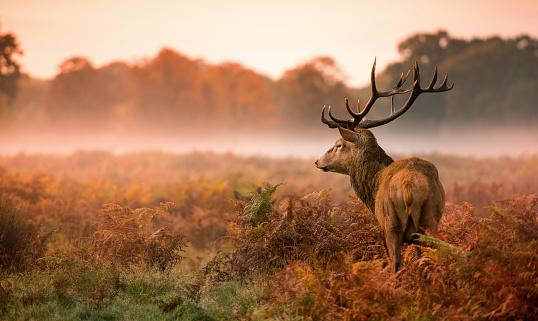 Red deer stag, Cervus elaphus, the autumn rut in Richmond Park.