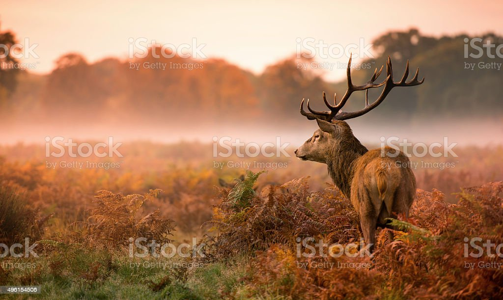 Red deer stag no misty manhã - foto de acervo